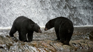 UNITED STATES - 2013/08/22: American black bears (Ursus americanus) at waterfall at Neets Bay fish hatchery, Behm Canal in Southeast Alaska near Ketchikan, USA. (Photo by Wolfgang Kaehler/LightRocket via Getty Images)