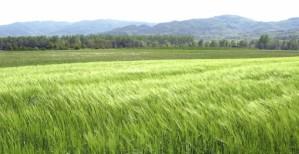 082615wheat
