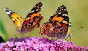 butterflies-2015-8-10