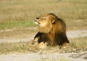 Cecil the lion is seen at Hwange National Parks in this undated handout picture