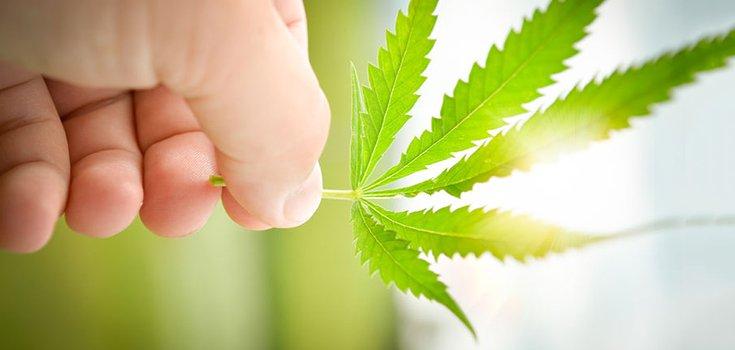marijuana-hemp-wind-735-350